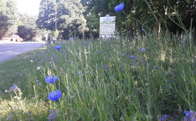 Wildflower verge outside Frimley Lodge Park
